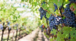 Traducción para el sector del vino
